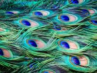 phoca_thumb_l_peacock-feathers-abstract-peta-thames