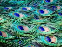 phoca_thumb_l_peacock-feathers-abstract-peta-thames